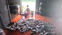 350 tấn cá chết ngạt, người dân trắng tay vì thủy điện xả lũ