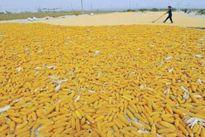 Thị trường nông sản Mỹ tuần qua: Ngũ cốc đảo chiều đi xuống