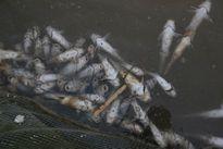 Cá chết trắng khi hồ Hòa Bình xả lũ, 100 hộ thiệt hại nhiều tỷ đồng