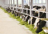 Vinamilk triển khai Dự án nuôi bò sữa tại Quảng Ngãi