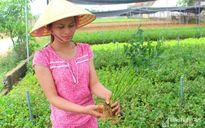 Trồng rau cần khô trong nhà lưới thu hàng trăm triệu đồng