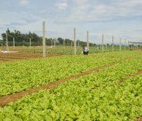 Quy hoạch vùng sản xuất tập trung cây công nghiệp và rau màu