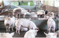 Đồng Nai- 2 tháng tiêu thụ hơn 700 ngàn con heo