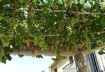 Mướt mắt những giàn nho trĩu quả trên sân thượng nhà phố