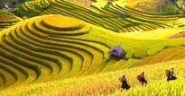 Lạc lối trong thung lũng lúa chín tráng lệ nhất Lào Cai