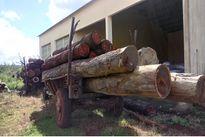Gia Lai: Bắt xe công nông vận chuyển trái phép 25 lóng gỗ xoan đào