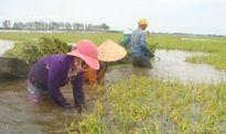 Lũ về sớm, nông dân 'kêu khóc' vì lúa bị nhấn chìm