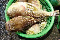 Cá 'tử thần' nhiều chưa từng thấy tại vùng ven biển TT-Huế
