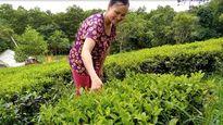 'Người phụ nữ rồ' xây hầm biogas lấy nước tưới cho vườn chè