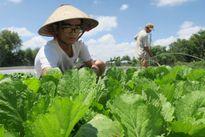 Nông dân Bình Thuận xây dựng thương hiệu rau an toàn