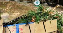 Lần đầu tiên phát hiện trồng cần sa trong nhà kính tại Đà Lạt