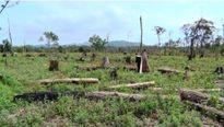 Bắt Phó Giám đốc Công ty lâm nghiệp Đức Hòa vì để phá rừng