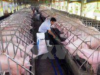 Thông tin xuất khẩu lợn sang Trung Quốc đã khơi thông trở lại là không chính xác