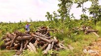 Đắk Nông: Khởi tố bộ sậu Công ty Lâm nghiệp Đức Hòa