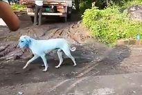 Chó hoang đổi màu lông sau khi tắm sông