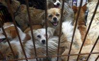 Trung Quốc giải cứu đàn chó bị đánh cắp