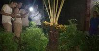 Chong đèn, giữ chó cả đêm để ngắm cây vạn tuế 'đẻ' 400 'trứng vàng'