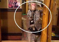 Quán bar Nhật Bản gây sốc với bồi bàn là khỉ