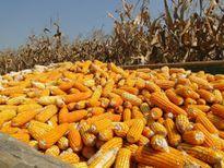 Đàm phán NAFTA: Nông dân Mexico lo bị xóa 'sổ' ngành sản xuất ngô
