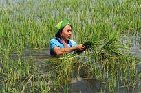 Nước lũ nhấn chìm nhiều cánh đồng lúa