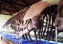 Tỉnh nào của nước ta lưu giữ bộ xương cá voi lớn nhất Đông Nam Á?