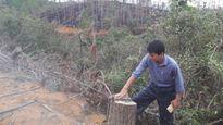Chặt rừng thông 30 năm trồng mắc ca: Hai lần rủi ro