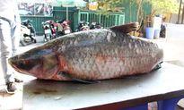 Bắt được cá trắm 'khủng' nặng 42 kg trên hồ Thác Bà