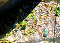 Cá chết nổi trắng sông ở Đà Nẵng