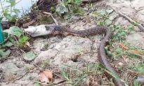 Bắt được cá, rắn vẫn ngậm ngùi nhịn đói