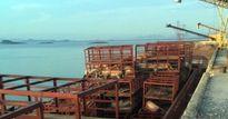 7 tấn lợn chết bốc mùi hôi thối cập cảng Mũi Chùa