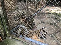 Vườn thú nuôi nhốt 3 con báo trái phép: Nuôi dùm 'người quen lãnh đạo'?