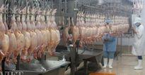 Sáng nay 9.9, lô hàng gà đầu tiên xuất sang Nhật: Cần điều kiện gì?