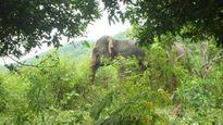Lên phương án di dời cá thể voi hoang dã tại Sông Mã, Sơn La