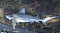 Xác minh nguồn gốc cá mập xuất hiện tại bờ vịnh Hạ Long