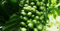 Giá nông sản hôm nay 21.9: Giá cà phê tăng 'khủng', giá tiêu hồi phục chậm