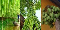 Xao xuyến trước những cây 'siêu mắn' cho ra trái trĩu trịt nhìn mãi không chán