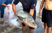 Nghệ An: Người dân bắt được cá trắm 'khủng' trên hồ sông Sào