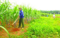 Thạch Thành - Thanh Hóa: Cánh đồng mía lớn bội thu