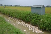 Tại sao xã Đỗ Động nhiều năm không phải dùng thuốc trừ sâu?
