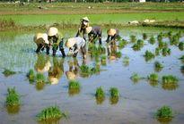 Khơi dậy phong trào sản xuất lúa