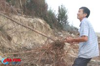 Rừng phi lao chắn cát ở Lộc Hà nguy cơ bị 'xóa sổ' sau bão