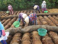 Làm nấm rơm mùa nước nổi cho thu nhập khá