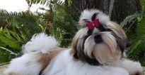 Kỹ thuật nuôi chó Shih Tzu sang chảnh, giỏi trông nhà