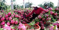 Để được Úc chấp nhận nhập khẩu, thanh long Việt phải 'chất' đến mức nào?