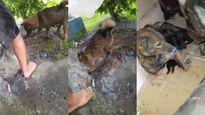 Cảm động chó mẹ hốt hoảng cào đất cứu 3 con kẹt trong hang ngập nước