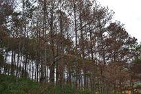 170 cây thông ba lá bị 'đầu độc'