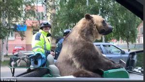 Ngỡ ngàng cảnh chở con gấu lớn trên đường phố đông đúc