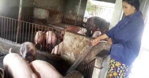 Giá lợn hôm nay 24.7: Miền Bắc sốc còn 35.000 đ/kg, lo Trung Quốc đã đóng biên?