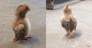 Tưởng mình là 'chim', chú gà con khiến dân mạng cười bò vì dáng đi như 'thần điêu'