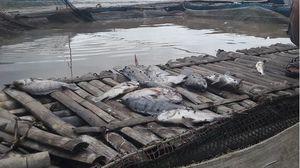 Cá chết khi xả lũ ở thủy điện Hòa Bình: Sẽ có biện pháp hỗ trợ người dân